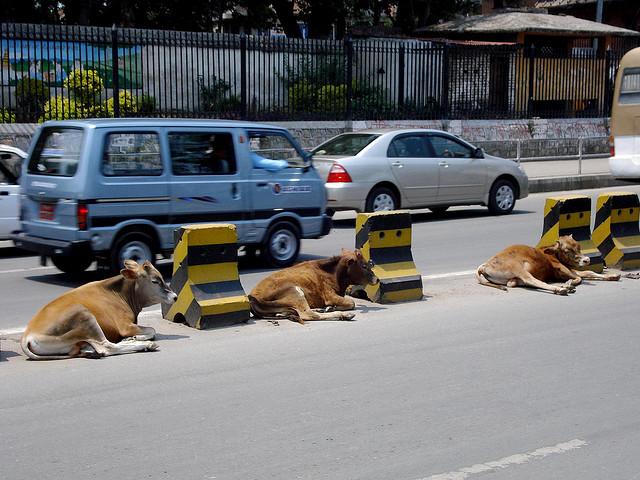 Cows in the street of Kathmandu, Nepal