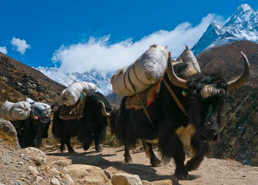 Yak- Everest Base camp trekking